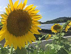 神在太陽光発電所(糸島市)のひまわり